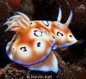 Chromodoris nudibranch by Marylin Batt 